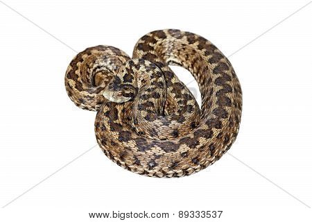 Hungarian Meadow Viper Over White