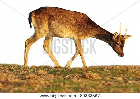 Isolated Fallow Deer Calf Grazing