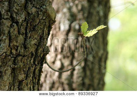 old oak - 1