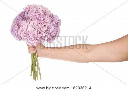 Pink Flower Hydrangea In Hand (clipping Path)