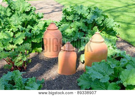 Rhubarb with forcing pots