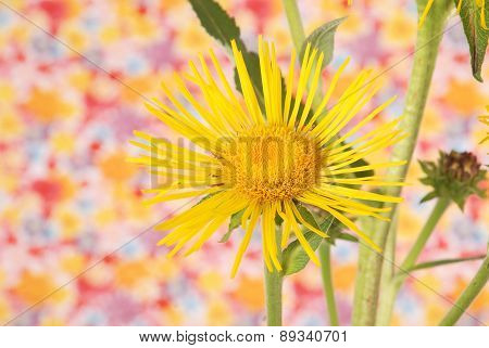 Yellow Devyasil Macrophylla
