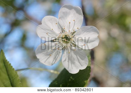 White Blossom Of Apple Trees In Springtime Summer