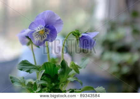Purple Pansies With Extreme Shallow Depth Of Field.
