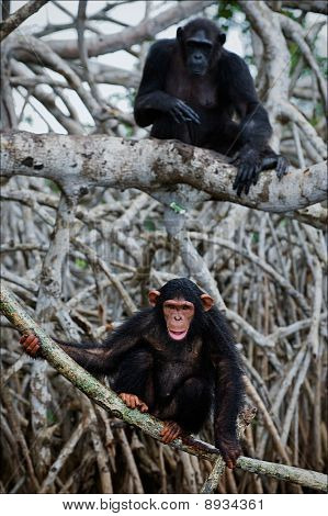 Chimpanzee On Roots Mangrove Tree.