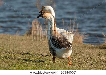 Couple Of Chinese Swan Goose