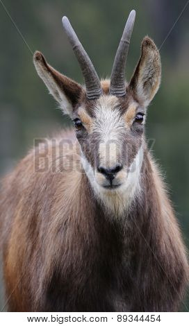 portrait of a chamois.