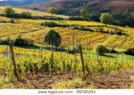 vineyards near Odenas, Beaujolais, Rhone-Alpes, France