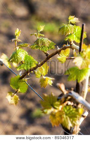 close up of vine