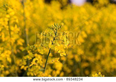 Yellow Rapeseed Flower