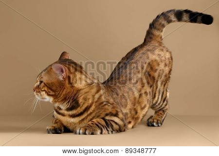 Bengal Cat on Brown background