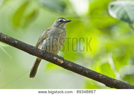 White-browed Bulbul on a branch