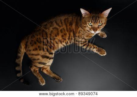 Top View of Bengal Cat