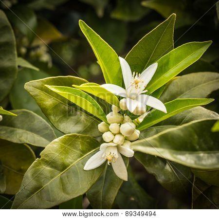 Orange Blossom, Peloponnese, Greece