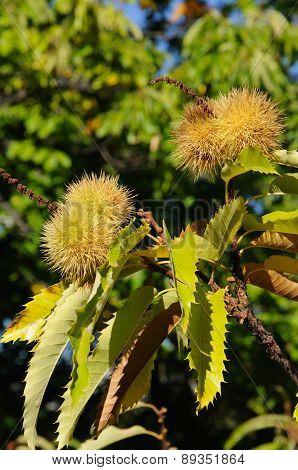 Ripe chestnuts on tree.