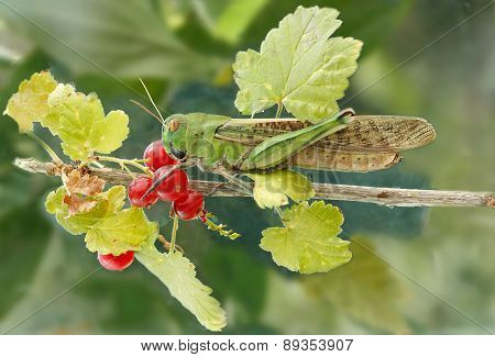 locust on a branch red currant
