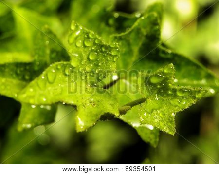 Ivy leaves with rain drops