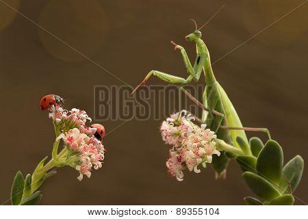 mantis and ladybugs