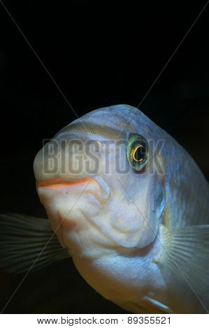 Labeotropheus Fish