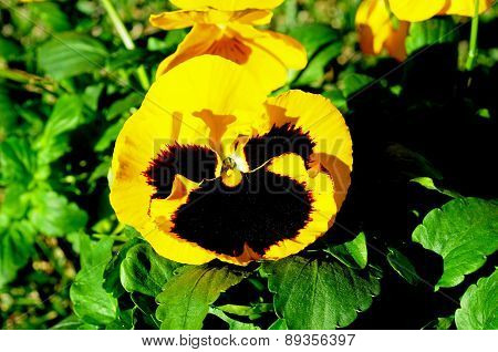 Yellow and black pansy.
