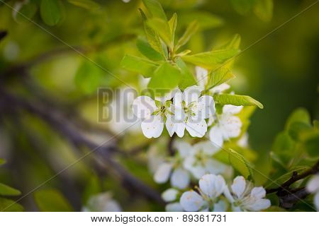 Blossoming Apple Or Pear Tree