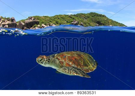 Green Sea Turtle: half and half split shot of underwater turtle and blue sky island above