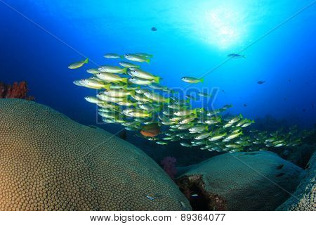 School yellow fish and coral (Yellowfin Goatfish)