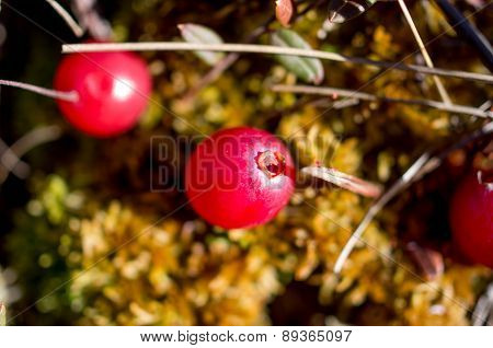 Cranberry Growing In A Swamp