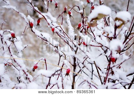 Rosehip In The Snow