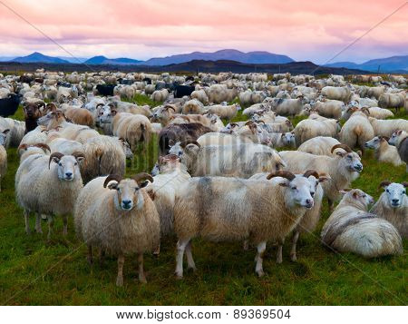 Herd of sheeps