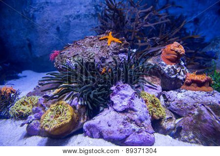 A starfish in a tank with stones and sea anemone