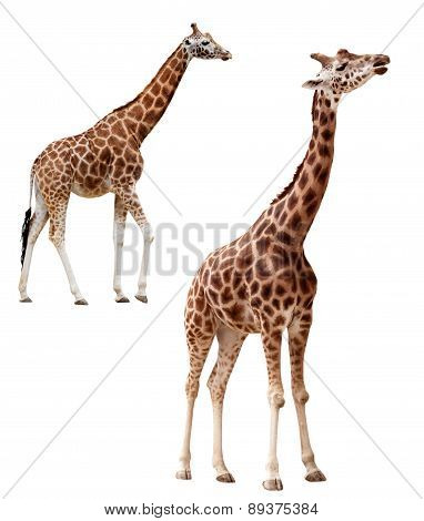 Two giraffes in different positions isolated with clipping path