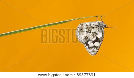 Marbled white, Melanargia galathea, on a blade of grass in front of an orange background