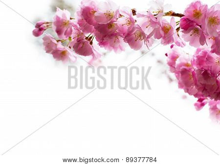 background with Beautiful pink cherry blossom, Sakura flowers on white