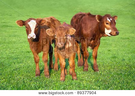 Portrait Of 3 Nice Brown Calves