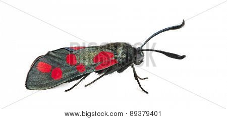 Six-spot burnet, Zygaena filipendulae in front of a white background