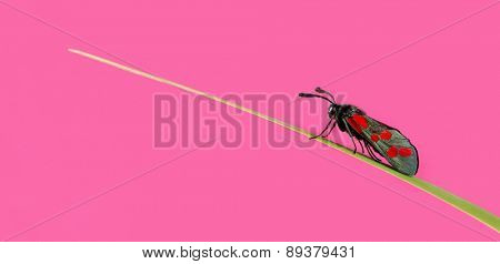 Six-spot burnet, Zygaena filipendulae, on a blade of grass in front of a pink background