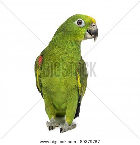 yellow-crowned amazon, Amazona ochrocephala, in front of a white background