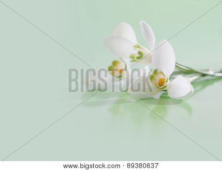 Spring snowdrop flower. Soft focus.