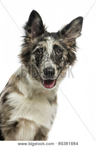 Border Collie (4 years old) in front of a white background