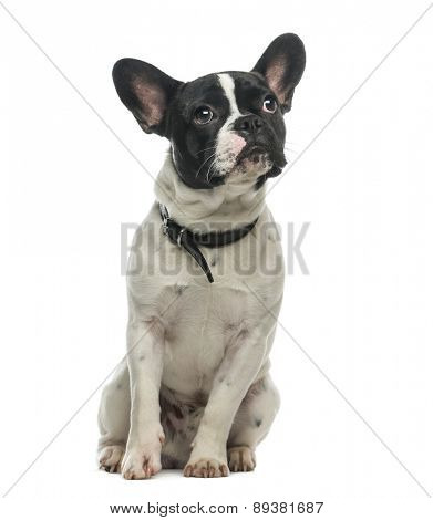 French Bulldog (9 months old) in front of a white background