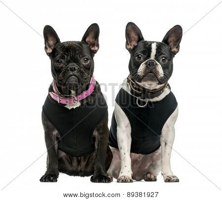 French Bulldog (1 year old) in front of a white background