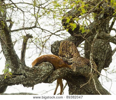 Leopard in a tree with its prey, Serengeti, Tanzania, Africa