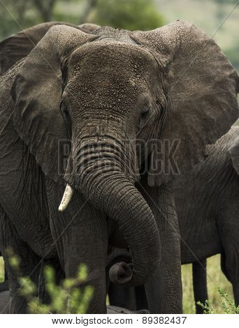 Close-up of an elephant, Serengeti, Tanzania, Africa