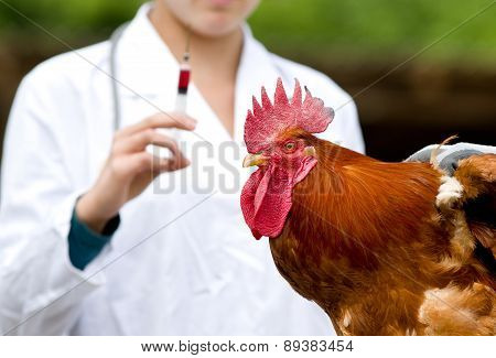Rooster Vaccination