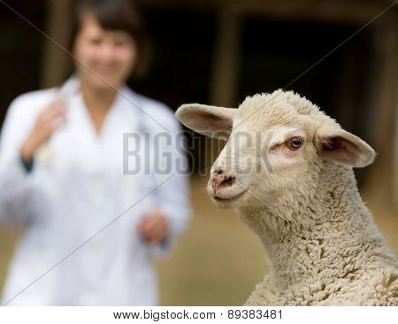 Lamb Portrait With Veterinarian
