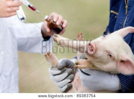 Piglet Vaccination
