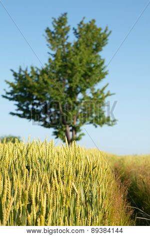Tree, Wheat Field And Path