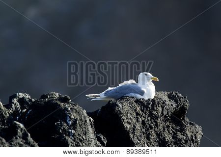 Seagull Sitting On A Rock.