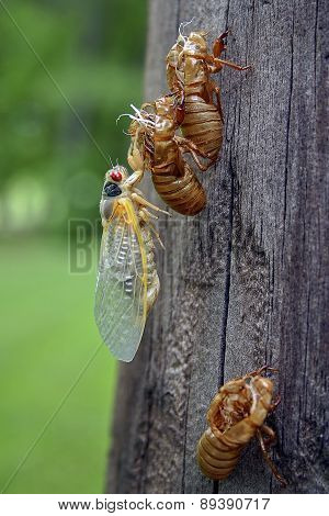 Emerging Cicada And Three Shed Skins